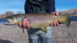 Beautiful Brown caught on the North Platte River